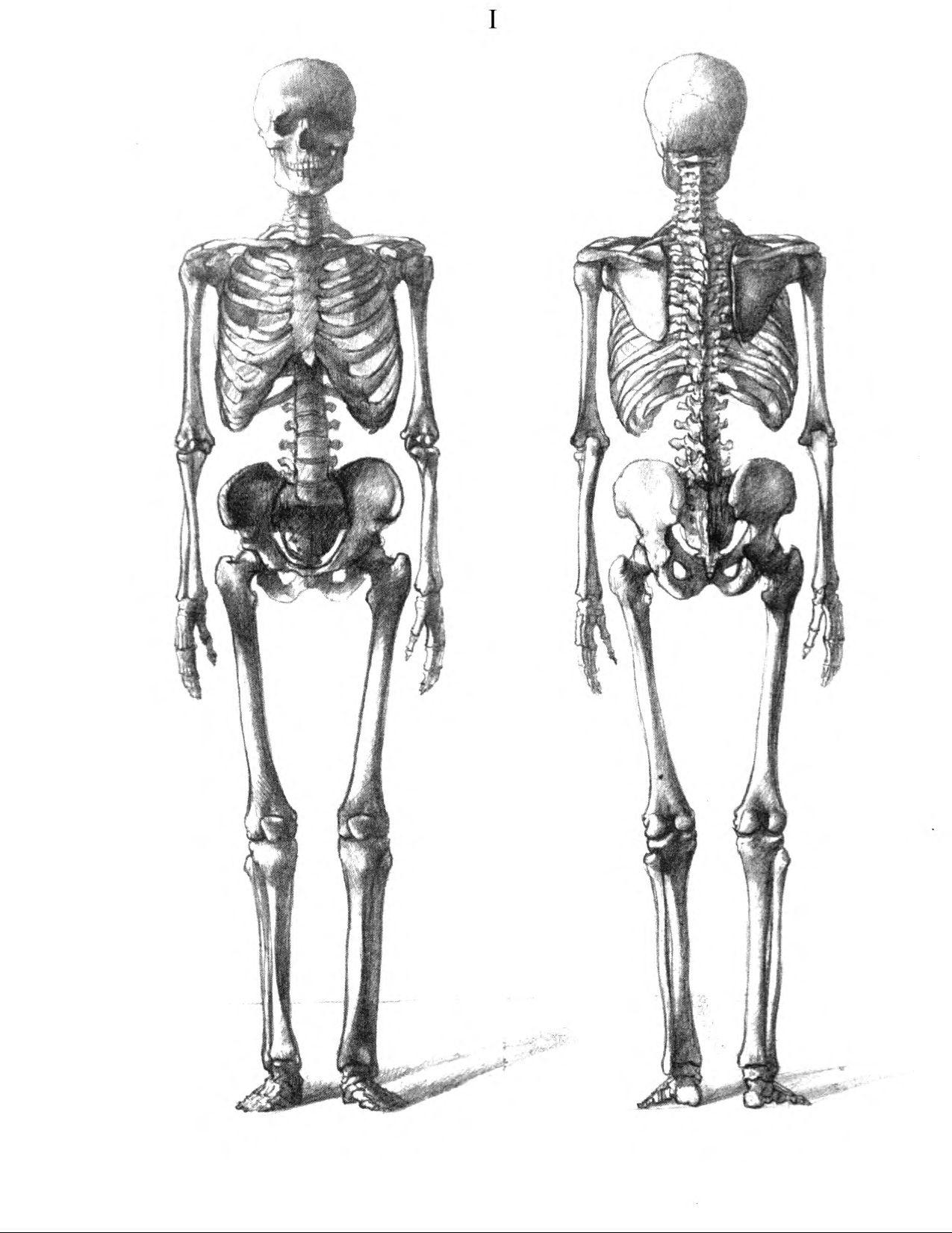 Рисунок скилета человека и его мышц 6